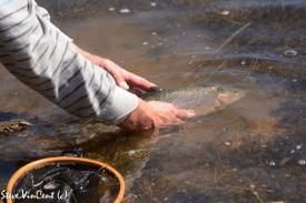Trout-released-2-1