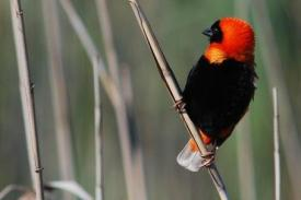 Bird-Bishop-Red-Millstream-2