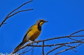 Bird-Bokmakirie-2a-2
