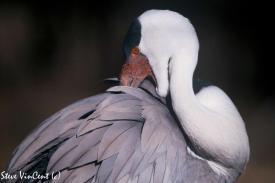 Bird-Crane-Wattle-Portrait-2-2