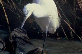 Bird-Egret-Little