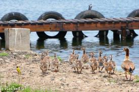Bird-Goose-Egyption-and-chicks-23-2