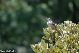 Bird-Grass-Bird-calling