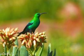 Bird-Sunbird-Malachite-2