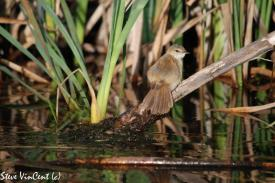 Bird-Warbler-Greater-Reed-Millstream-10-2