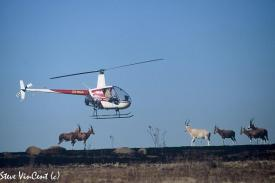 Blesbuck-1-wirth-resesive-gene-being-herded-by-Helicopter-2