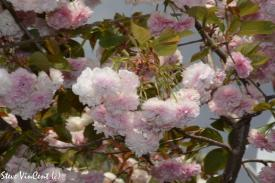 Flowers-Cherry-Blossums-Millstream-Sept-2016-5-2