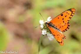 HILICONIINAE.-Hyalites-anocreon.-Orange-Acraea.-millstr-Dec-14-2-2