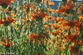 Lamiaceae-Leonatis-dysoyphilia-Flower-Wild-dagga-2