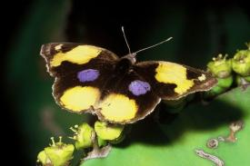 NYMPHALINAE-Junonia-hierta-cebrene.-Butterfly-Yellow-Pansy