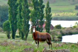 Serval-Blesbuck-1c-Cot-7-Nov-11-2