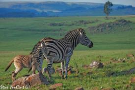 Zebra-Knuckle-foal-T-peg-2