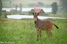 Zebra-foal-near-the-ponds-after-rin-storm-1-2